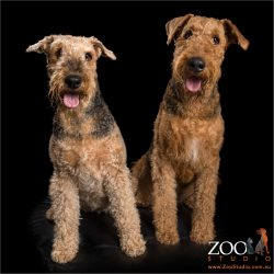 smiling airedale fur-siblings