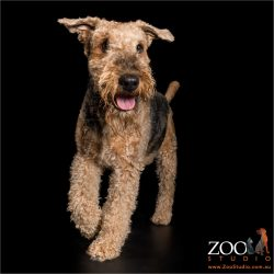 jaunty airedale stepping out