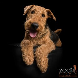 cool dude smiling airedale