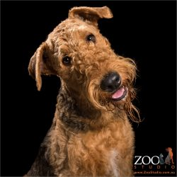 head tilting happy airedale