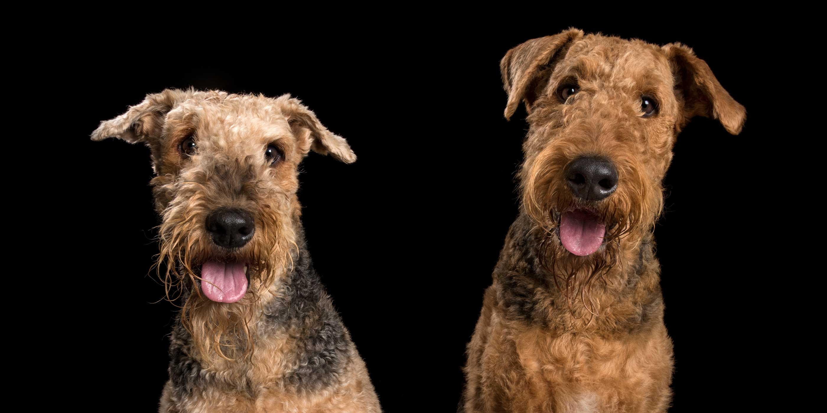 pink tonged pair of airedale dogs