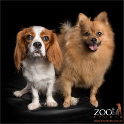 blenheim cavvy with honey coloured pomeranian
