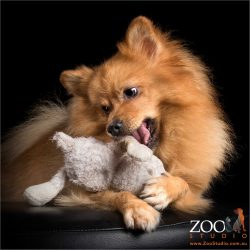 honey male pomeranian chewing on soft toy