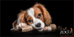 cavalier king charles spaniel chewing carboard roll