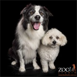 fur-bros border collie and maltese