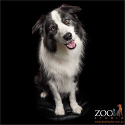 smiling and sitting border collie