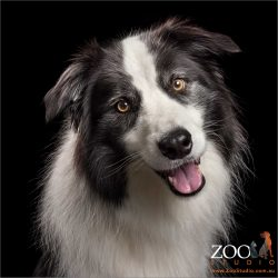 tilting head shot of black and white border collie