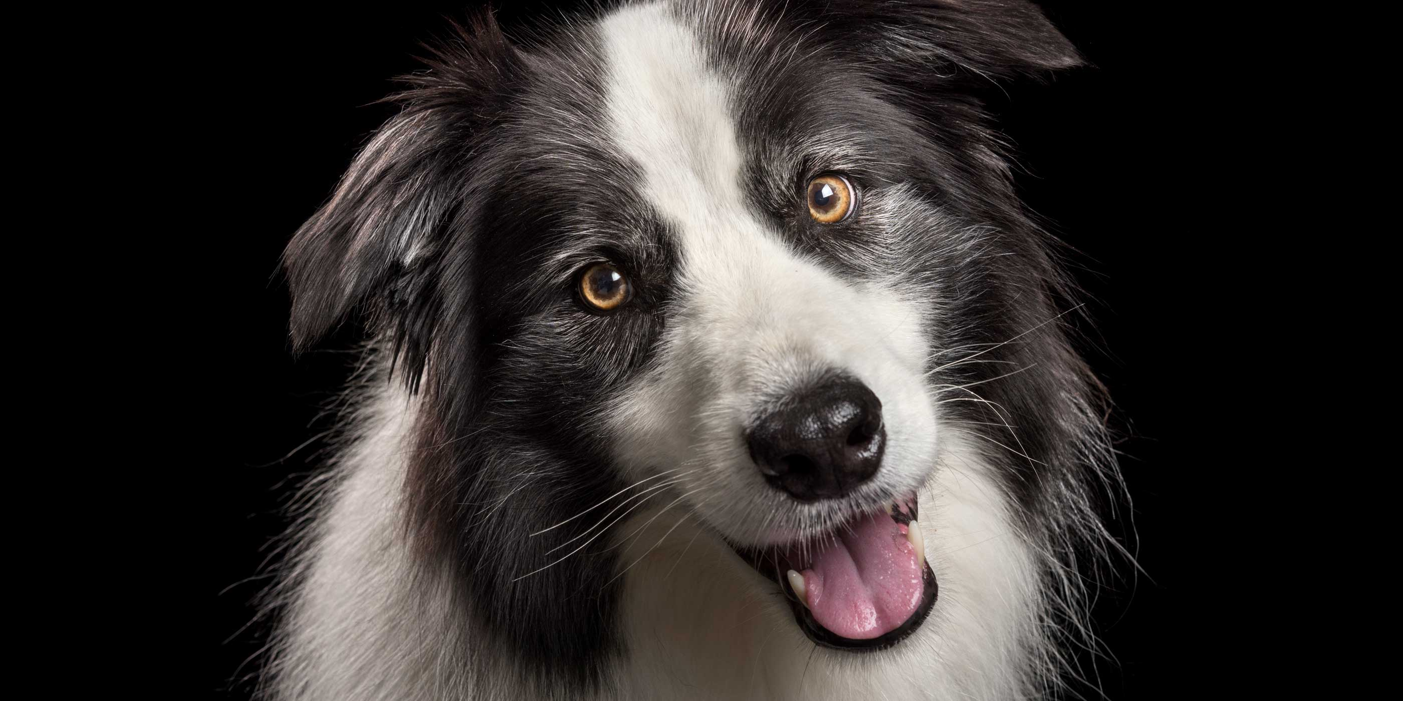 happy pink tongued smiling black and white border collie