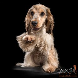 high fiving sable roan cocker spaniel girl