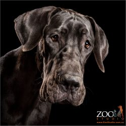 full face black great dane male