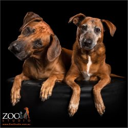fur-siblings ridgeback boy and ridgeback cross girl