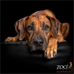 soulful eyed ridgeback boy