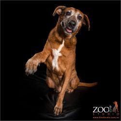 high five from senior ridgeback doberman cross girl
