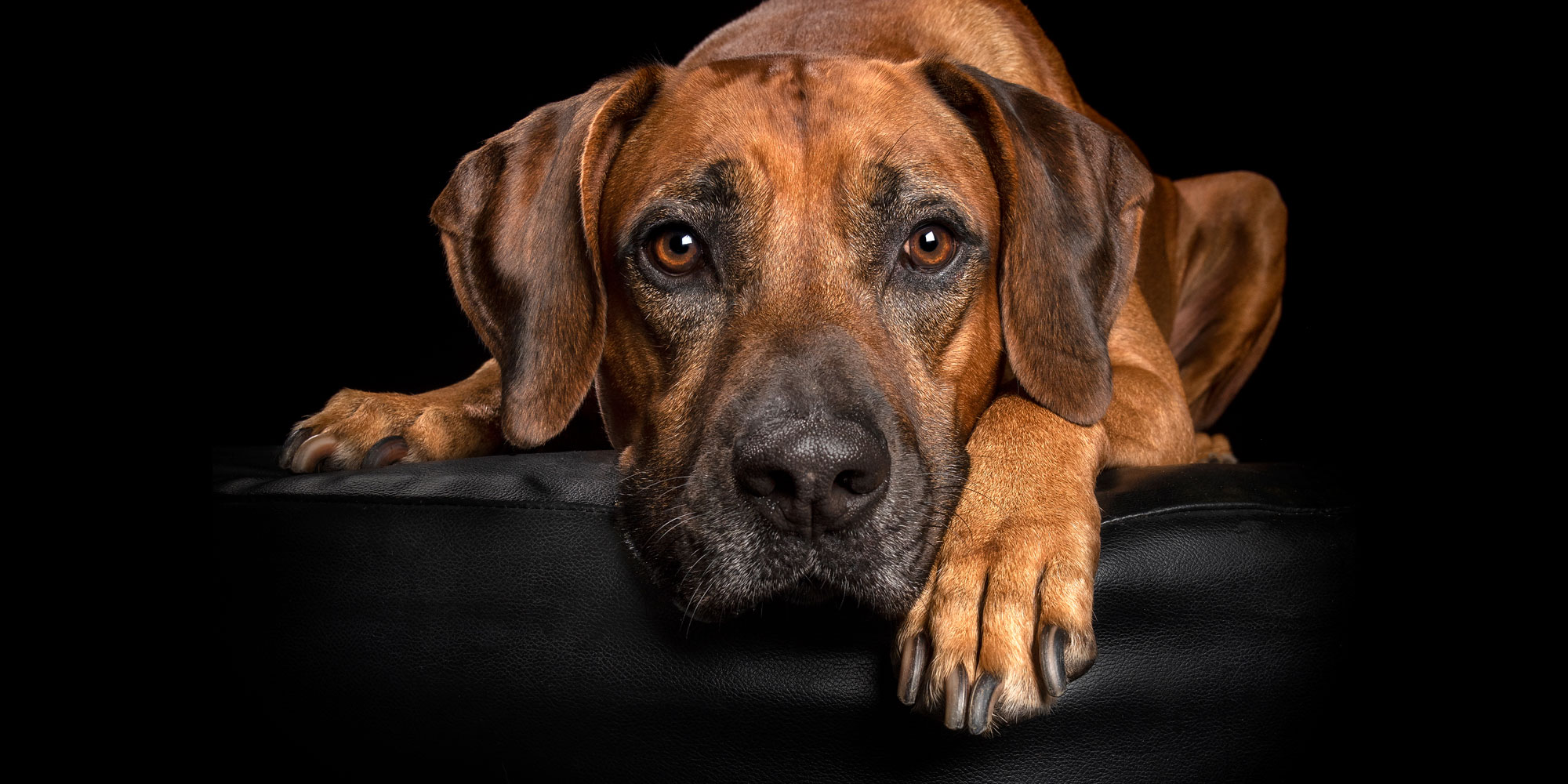 tan ridgeback boy with soulful eyes and head between paws