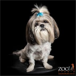 black and white shi tzu with blue bow in hair
