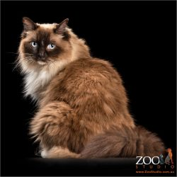 tri-coloured ragdoll cat in profile