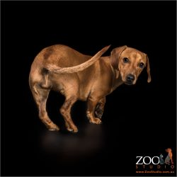rear end view of young dachshund