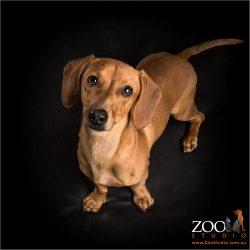 upward looking tan dachshund girl
