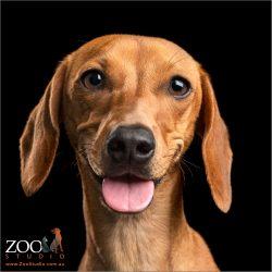 smiling tan dachshund girl