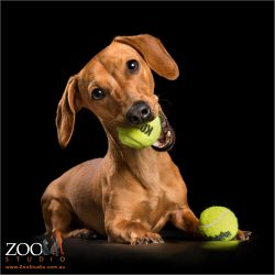 playful female dachshund pup with ball in mouth