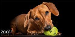 chewing on green tennis ball dachshund girl