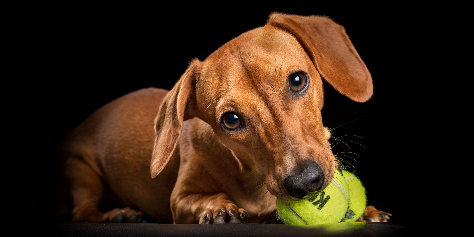 young tan dachshund with green tennis ball in mouth