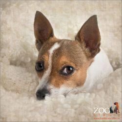 tan and white miniature fox terrier snuggling in cream blanket