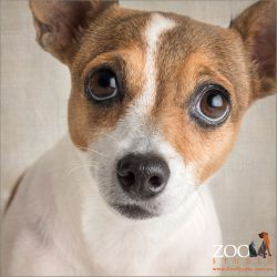 soulful look from white and tan mini fox terrier