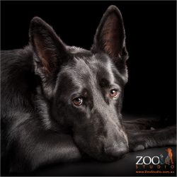 stunning black german shepherd head on paw