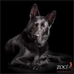 regal pose from shiny black german shepherd girl