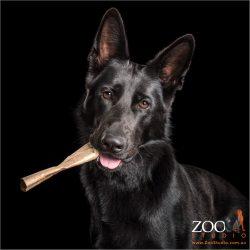 black german shepherd chewing on toy