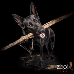 smiling black german shepherd girl with giant stick in mouth