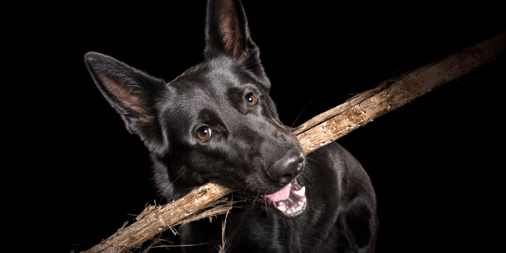 german shepherd girl with big stick in mouth