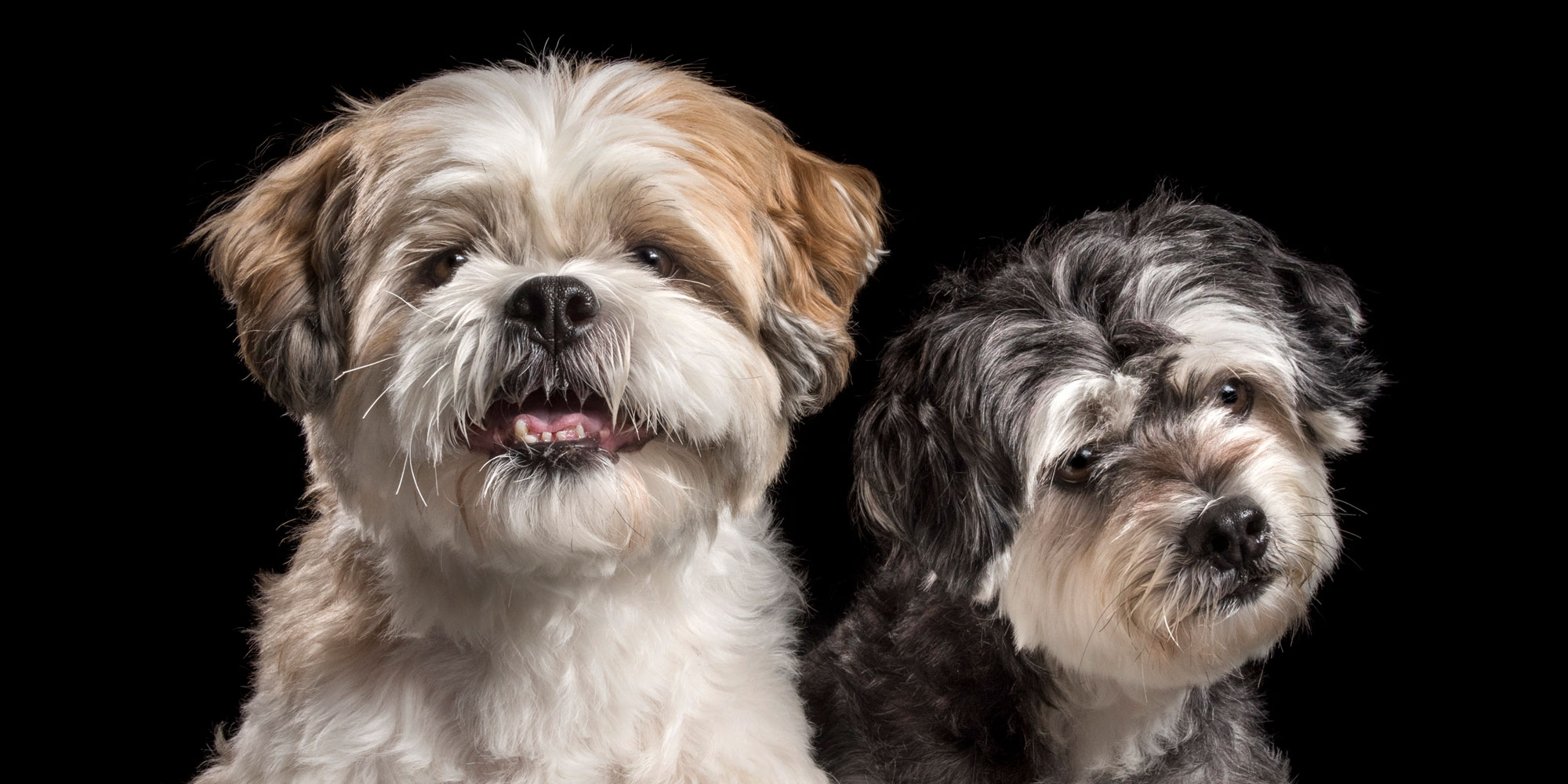 fluffy dog brothers maltese and lhasa apso cross
