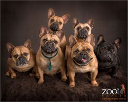 large family of dressed to impress french bulldogs