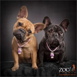 bling wearing tan and black french bulldogs