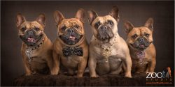 happy fur family of french bulldogs