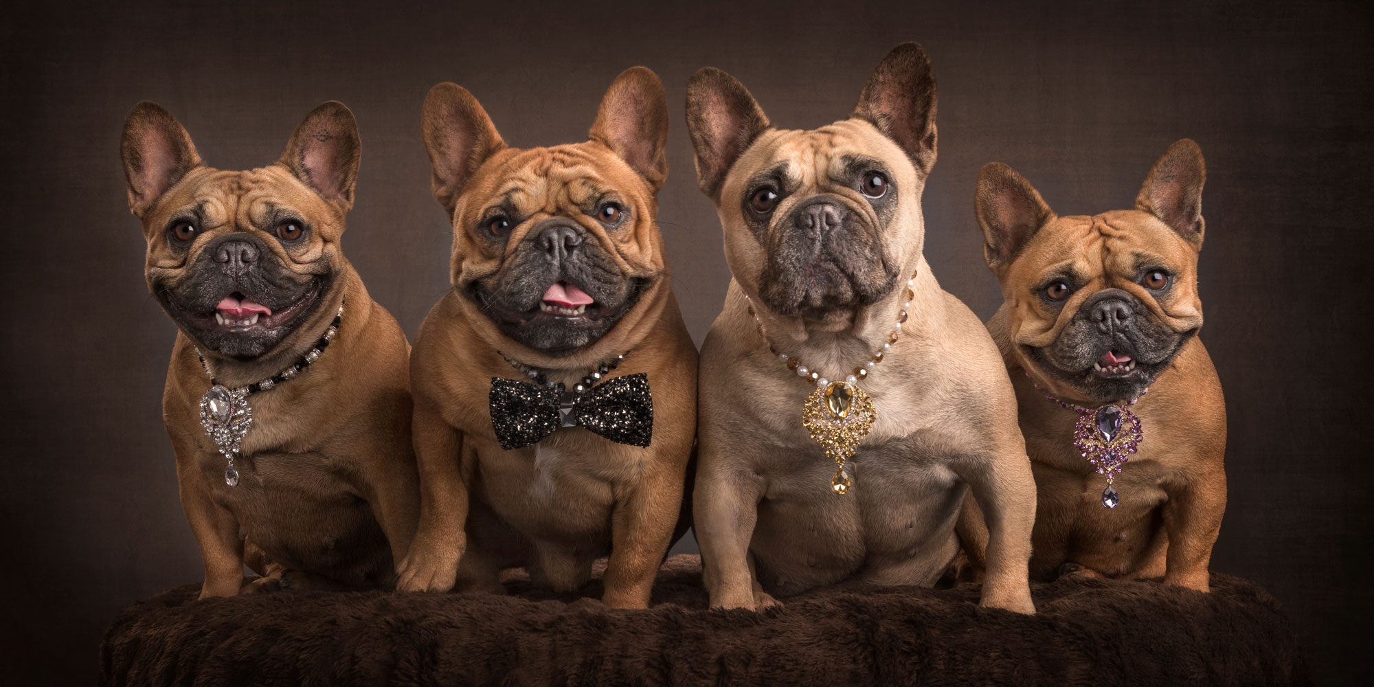 power dressers french bulldog fur-family
