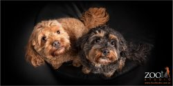 brown and black cavoodle fur-siblings looking skywards