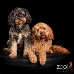 cuddly cavoodles male and female