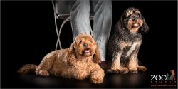 loyal cavoodle fur-siblings sitting with dad