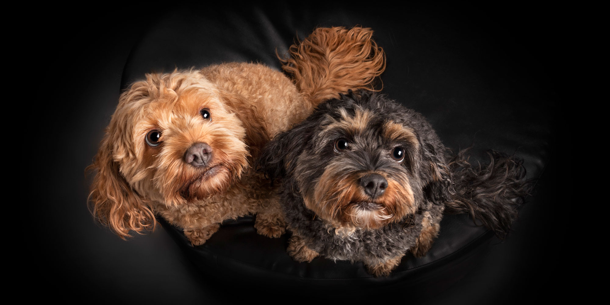 black girl and tan boy cavoodle fur siblings