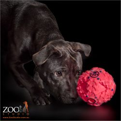 black staffordshire bull terrier eyeballing red ball