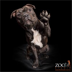 pawfect high five from white chested brindle staffy