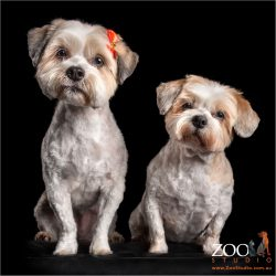 sitting pretty fur-sisters two tan and white maltese cross dogs