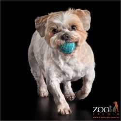playful maltese shih tzu cross girl with blue ball in mouth