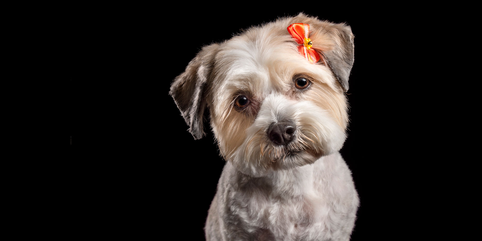 orange butterfly in hair of tan and white maltese shih tzu cross dog