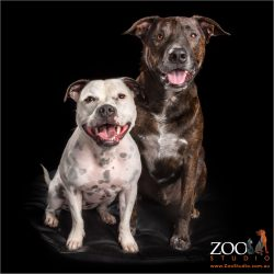 happy pink smiles staffordshire bull terrier and mixed breed