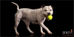 black spotted white staffy with tennis ball
