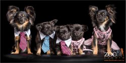dressed to impress family of chihuahus cross puppies with mum and dad